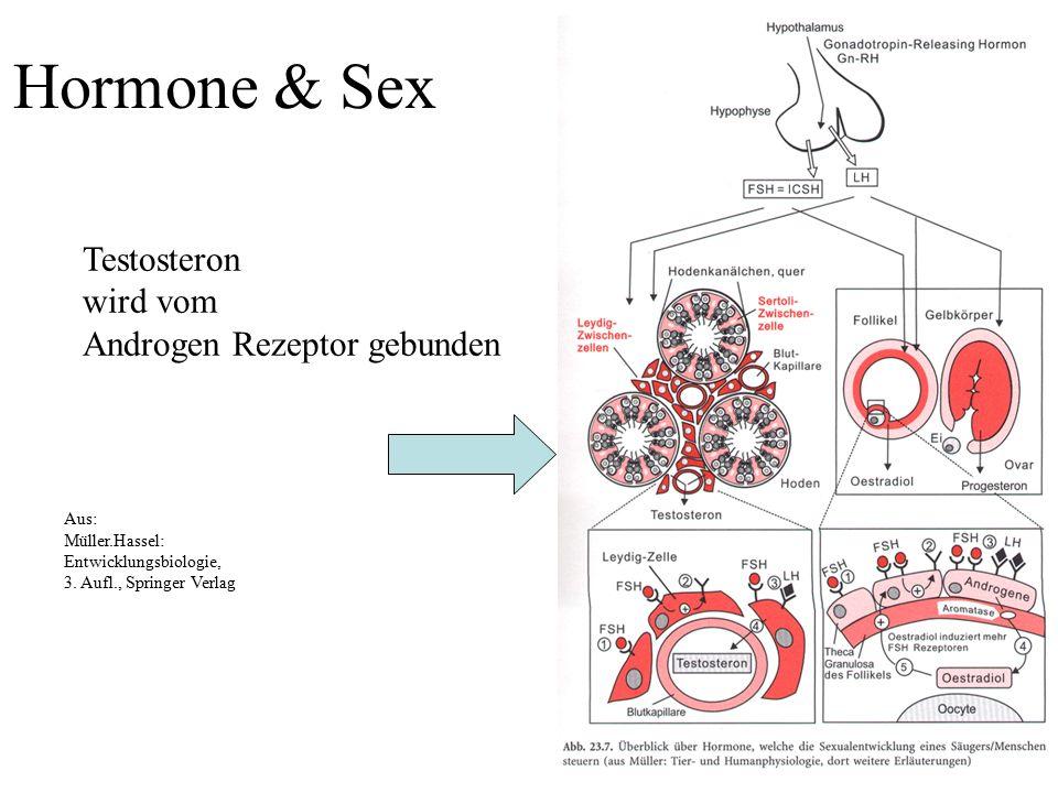 Aus: Müller.Hassel: Entwicklungsbiologie, 3. Aufl., Springer Verlag Hormone & Sex Testosteron wird vom Androgen Rezeptor gebunden