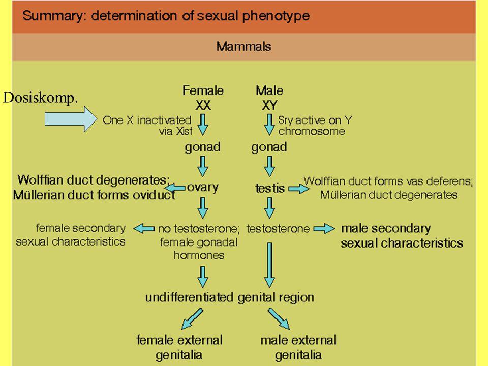 WolpertSummary S.381 Geschlechtsbestimmung Dosiskomp.
