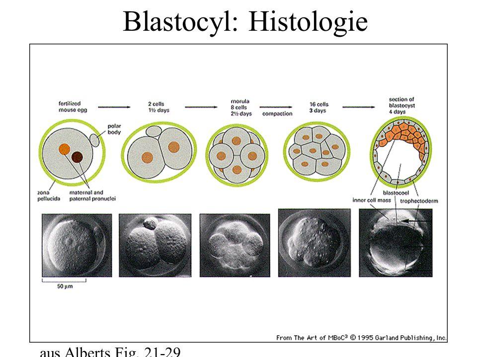 Blastocyl: Histologie aus Alberts Fig. 21-29