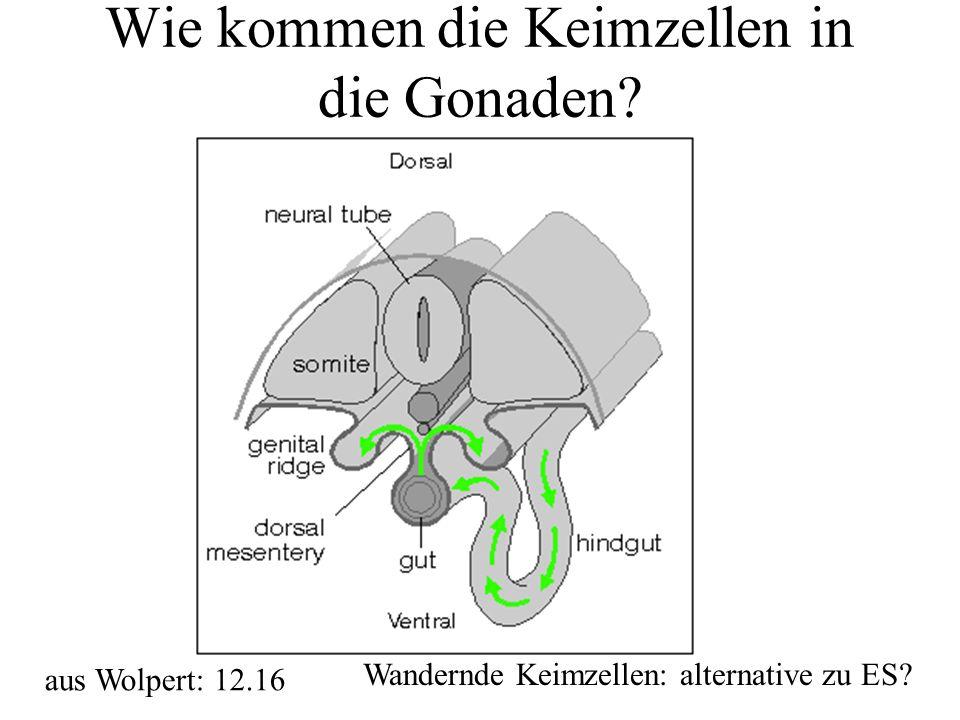 Wie kommen die Keimzellen in die Gonaden? aus Wolpert: 12.16 Wandernde Keimzellen: alternative zu ES?