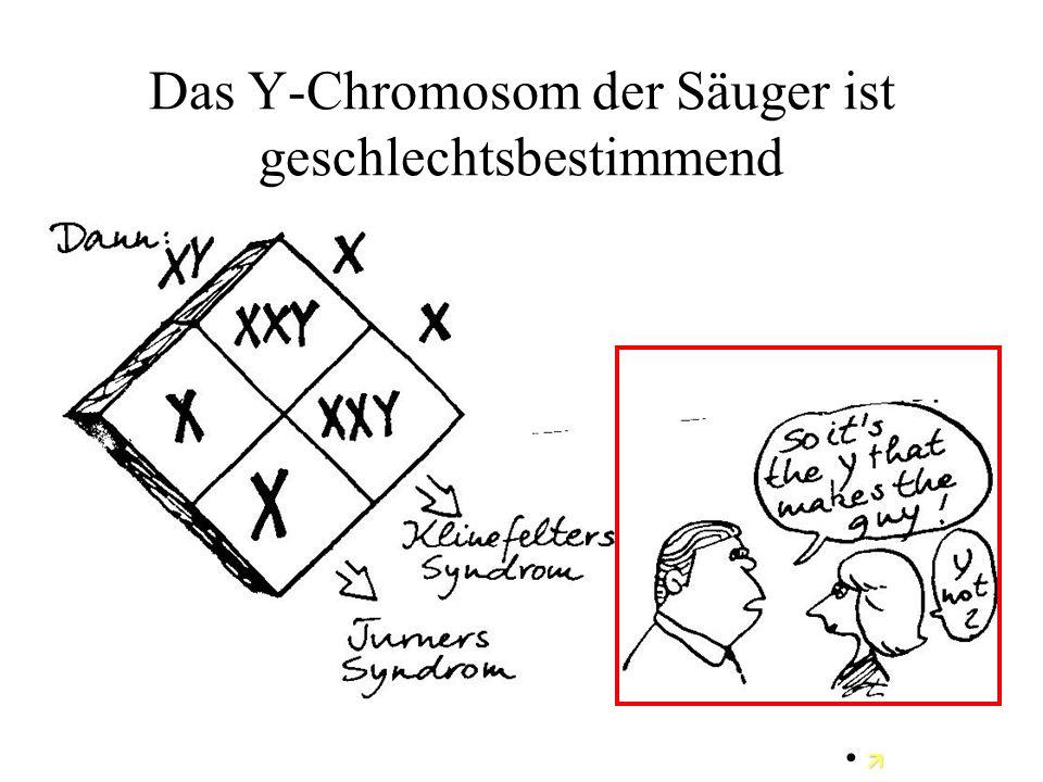 Das Y-Chromosom der Säuger ist geschlechtsbestimmend 