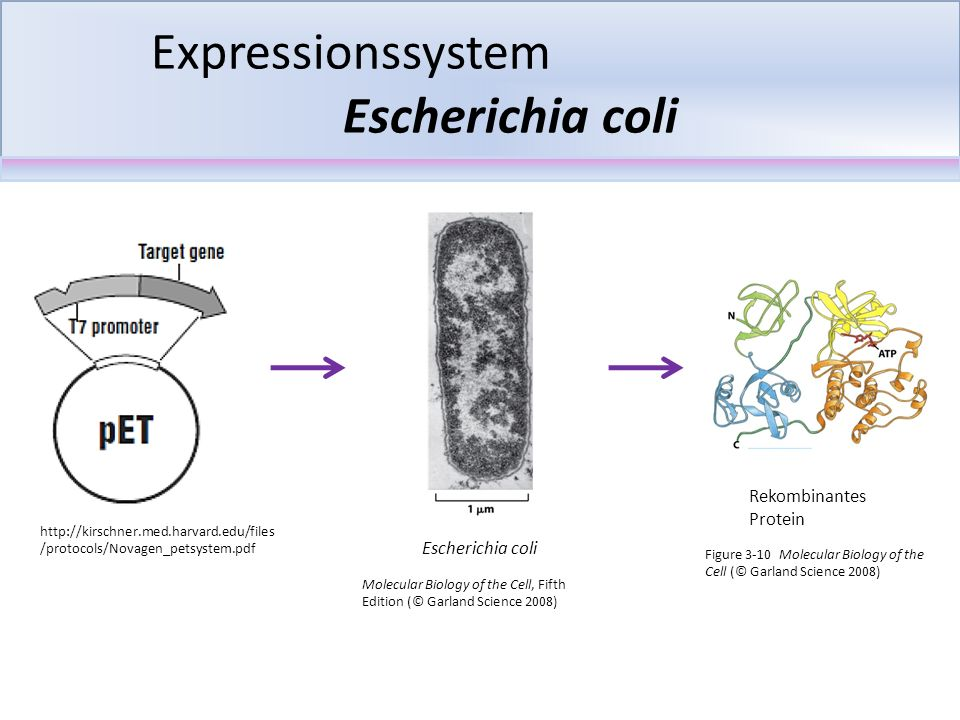 Expressionssystem Escherichia coli http://kirschner.med.harvard.edu/files /protocols/Novagen_petsystem.pdf Rekombinantes Protein Molecular Biology of the Cell, Fifth Edition (© Garland Science 2008) Escherichia coli Figure 3-10 Molecular Biology of the Cell (© Garland Science 2008)