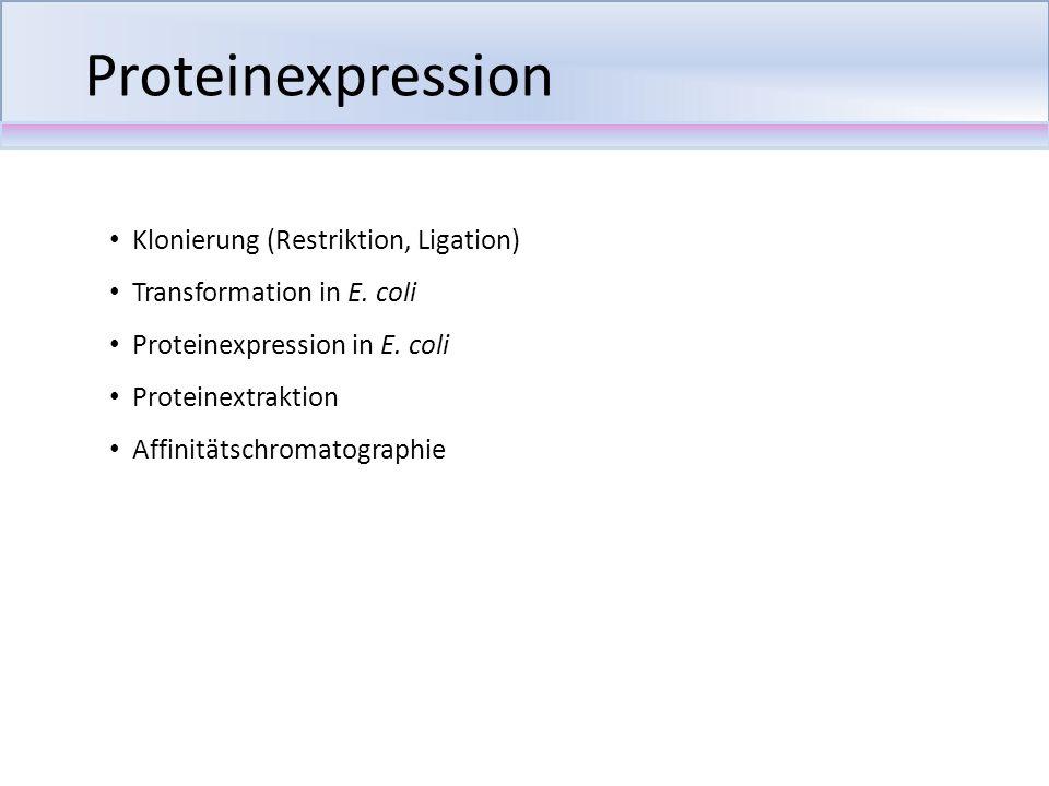 Klonierung (Restriktion, Ligation) Transformation in E. coli Proteinexpression in E. coli Proteinextraktion Affinitätschromatographie Proteinexpressio