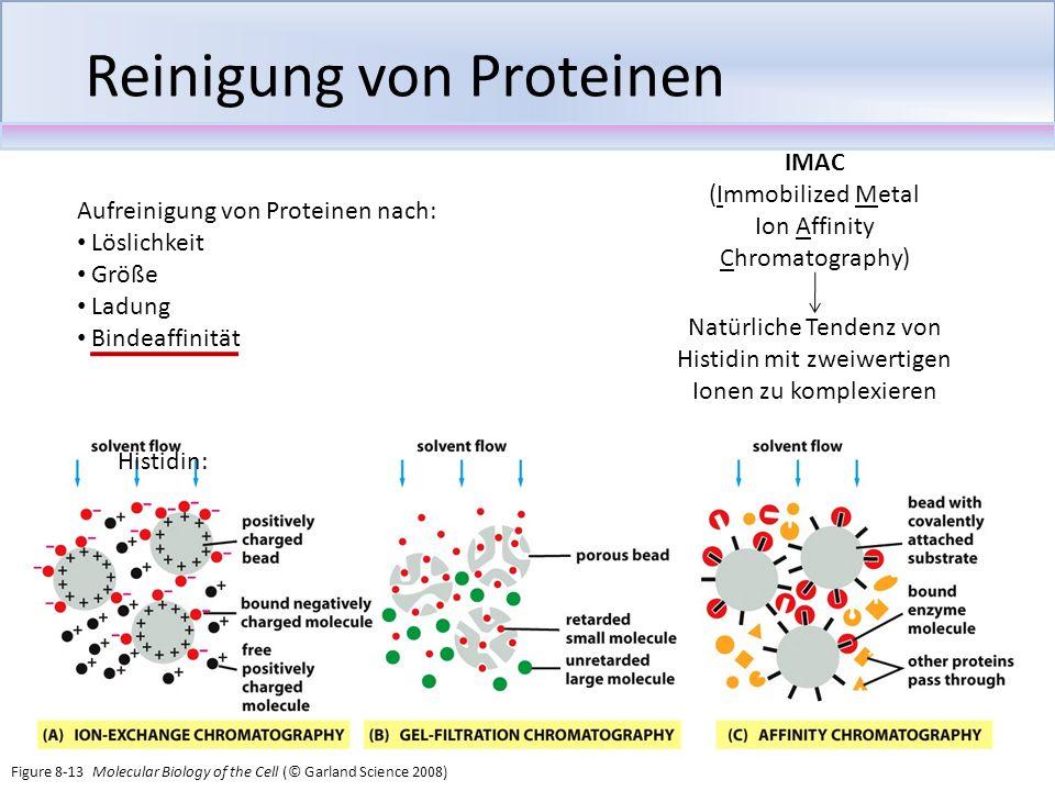Reinigung von Proteinen Aufreinigung von Proteinen nach: Löslichkeit Größe Ladung Bindeaffinität IMAC (Immobilized Metal Ion Affinity Chromatography)