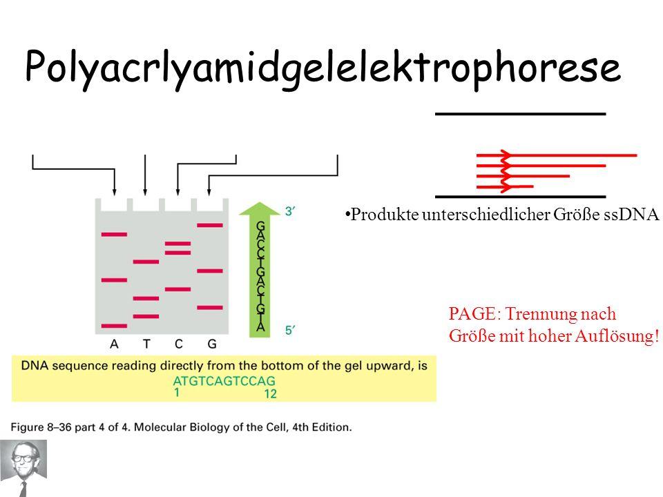 PAGE: Trennung nach Größe mit hoher Auflösung! Polyacrlyamidgelelektrophorese Produkte unterschiedlicher Größe ssDNA