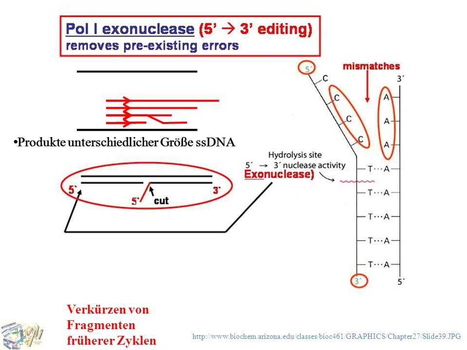Verkürzen von Fragmenten früherer Zyklen http://www.biochem.arizona.edu/classes/bioc461/GRAPHICS/Chapter27/Slide39.JPG Produkte unterschiedlicher Größ