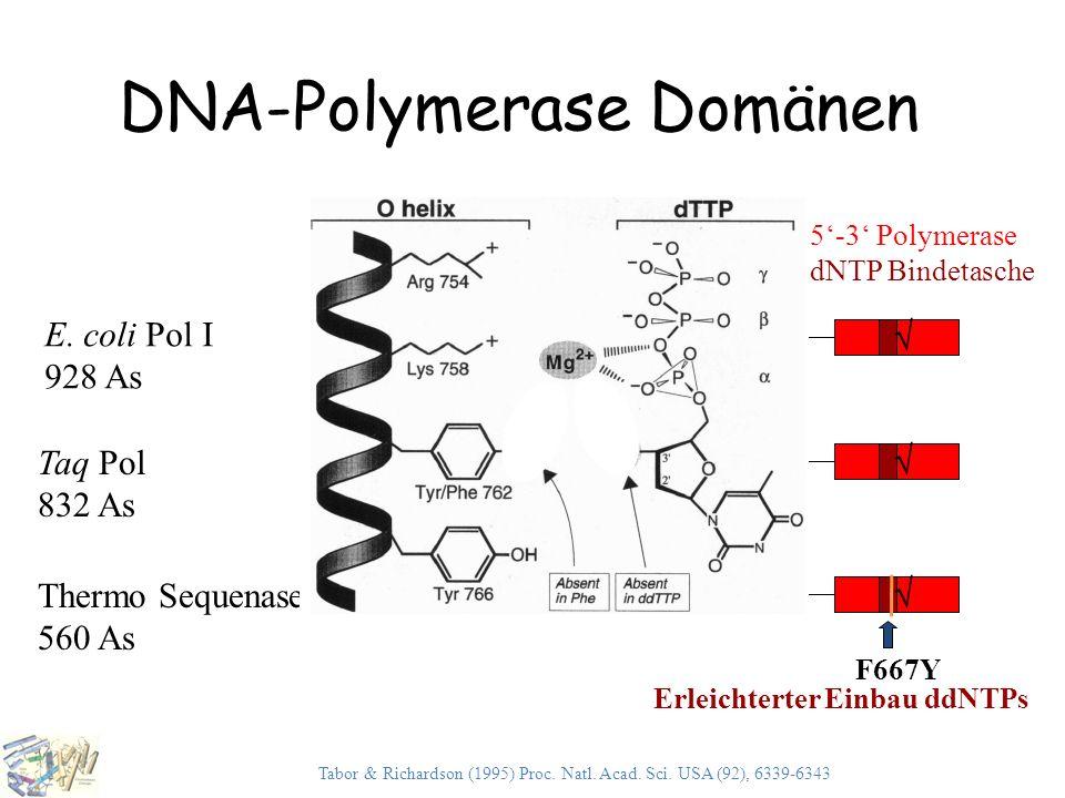 DNA-Polymerase Domänen Thermo Sequenase 560 As Taq Pol 832 As dNTP Bindetasche  5'-3' Exonuklease 3'-5' Exonuklease5'-3' Polymerase E. coli Pol I 92