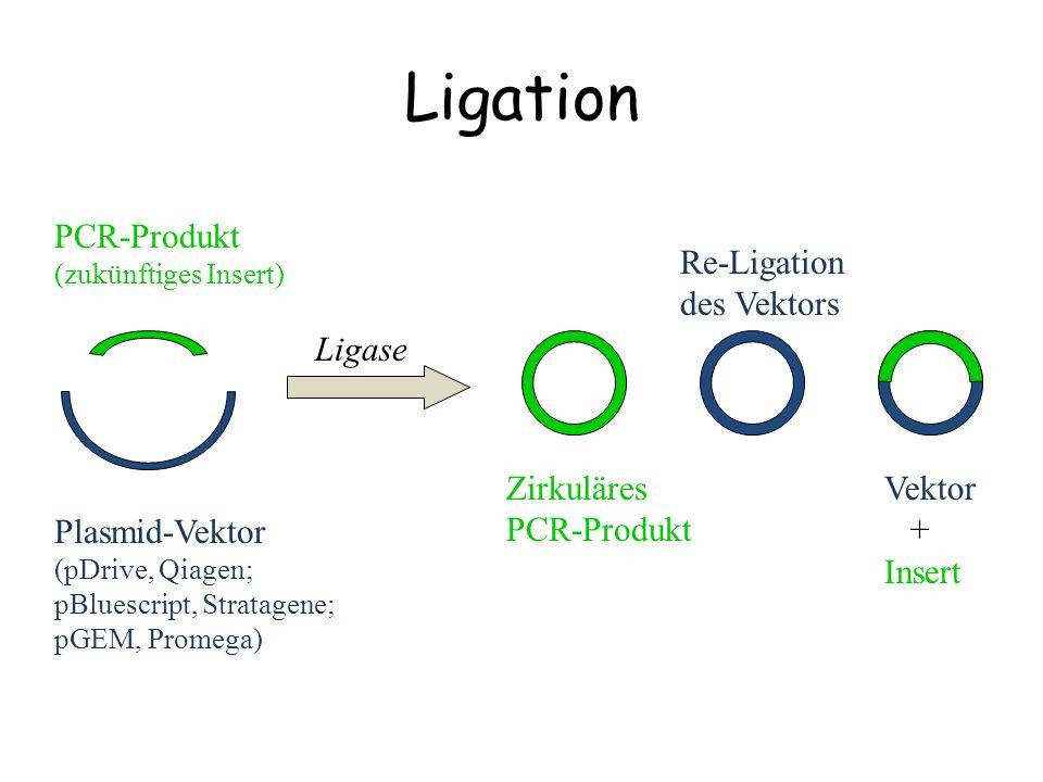 Ligation PCR-Produkt (zukünftiges Insert) Plasmid-Vektor (pDrive, Qiagen; pBluescript, Stratagene; pGEM, Promega) Re-Ligation des Vektors Zirkuläres P