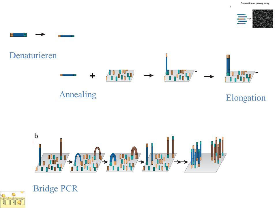 Bridge PCR Denaturieren + Annealing Elongation