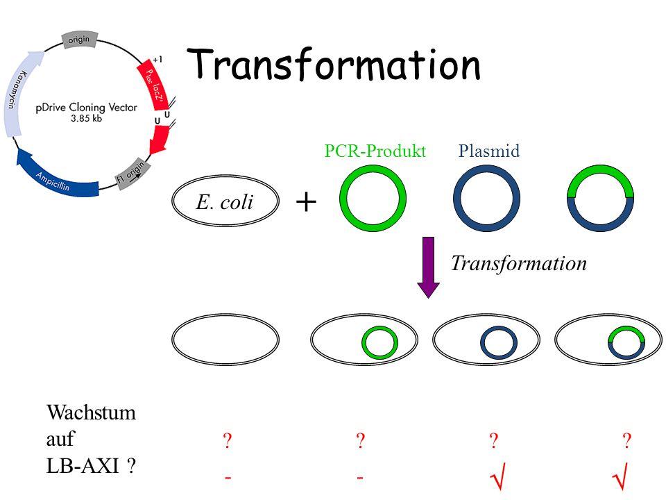 Transformation Wachstum auf LB-AXI ? ???????? E. coli +  -- PCR-ProduktPlasmid