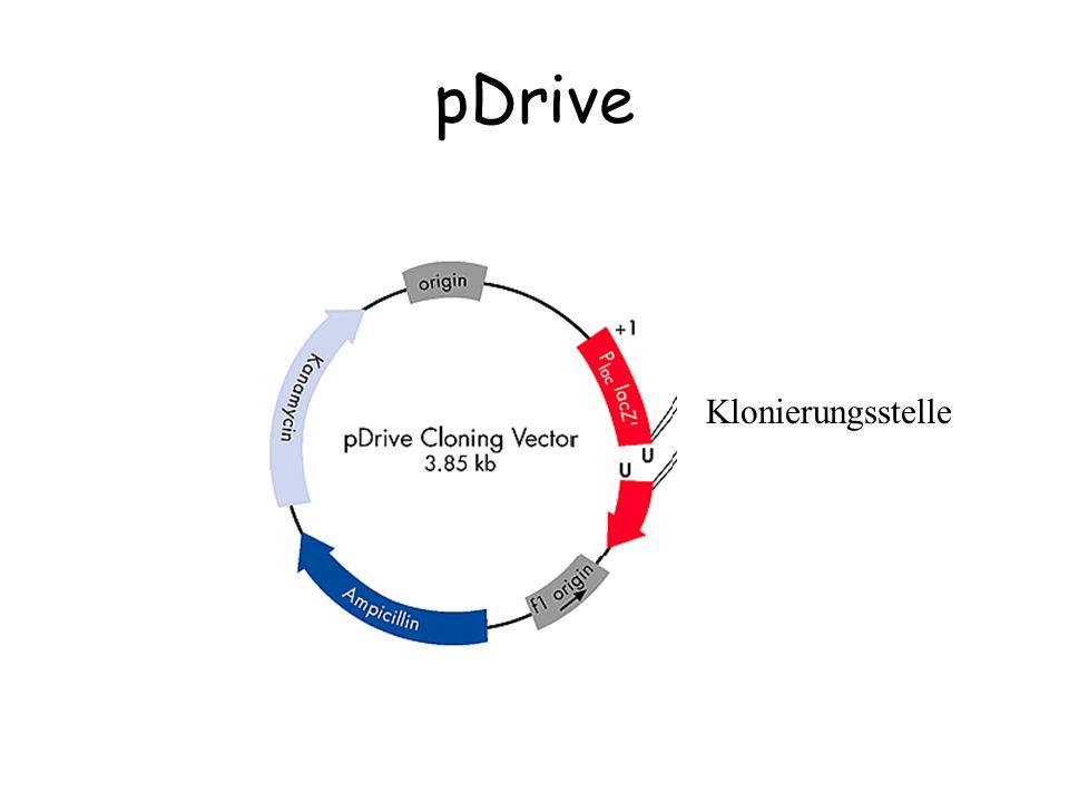 Blau/Weiß Selektion pDrive oder pBluescript lacZ' Ligation Klonierungsstelle Genexpression β-Galactosidaseβ -GalacXXXtosidase Aktiv: blauInaktiv: weiß β -Galacxtosidase Etwas aktiv: hellblau