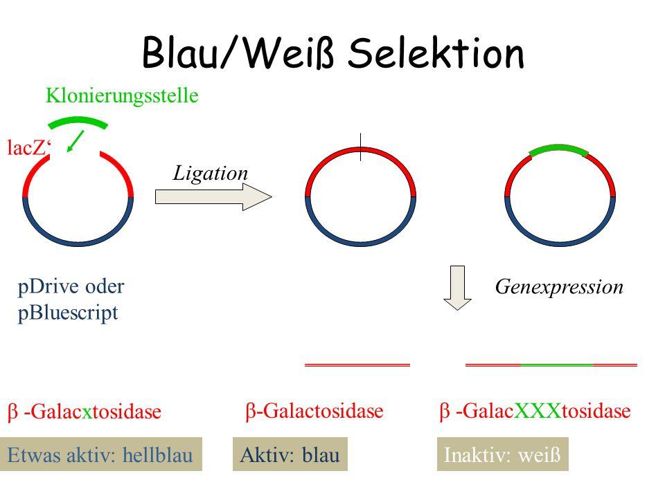 Blau/Weiß Selektion pDrive oder pBluescript lacZ' Ligation Klonierungsstelle Genexpression β-Galactosidaseβ -GalacXXXtosidase Aktiv: blauInaktiv: weiß