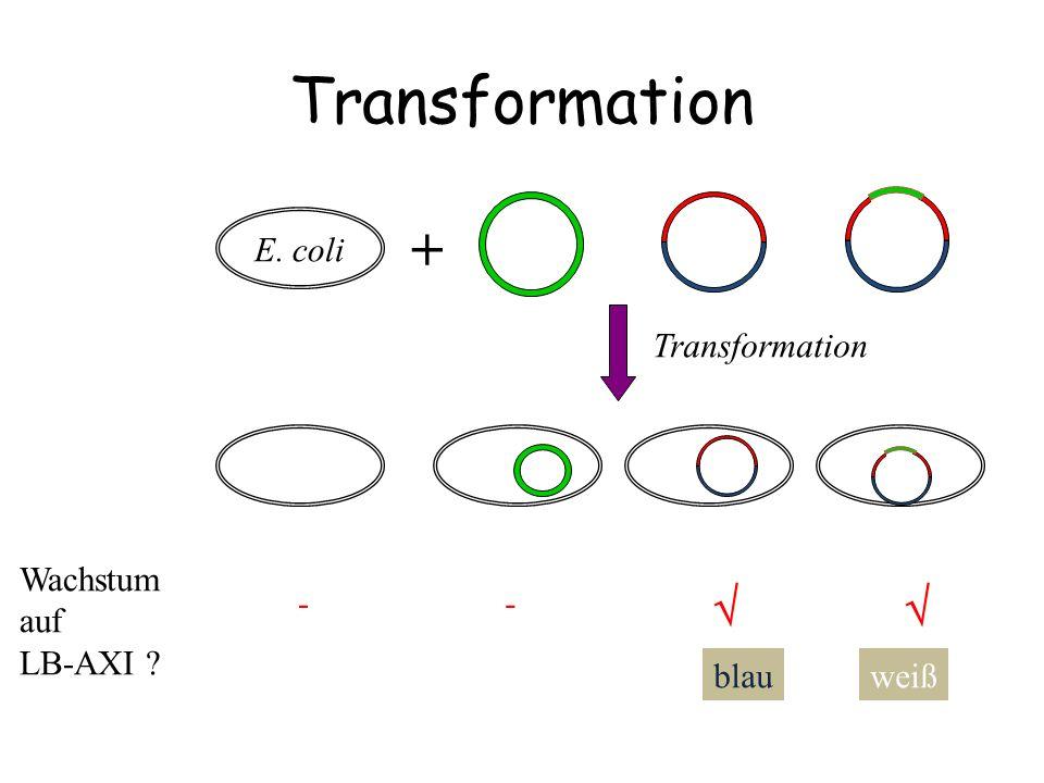 DNA-Polymerase Taq-DNA-Polymerase......modifiziert Ohne 3'-5' Exonuklease Ohne 5'-3' Exonuklease Mod.