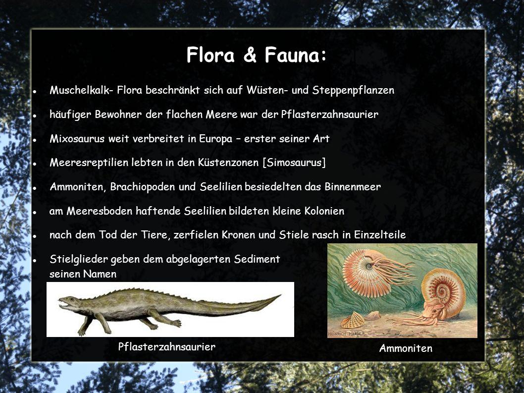 Flora & Fauna: Muschelkalk- Flora beschränkt sich auf Wüsten- und Steppenpflanzen häufiger Bewohner der flachen Meere war der Pflasterzahnsaurier Mixosaurus weit verbreitet in Europa – erster seiner Art Meeresreptilien lebten in den Küstenzonen [Simosaurus] Ammoniten, Brachiopoden und Seelilien besiedelten das Binnenmeer am Meeresboden haftende Seelilien bildeten kleine Kolonien nach dem Tod der Tiere, zerfielen Kronen und Stiele rasch in Einzelteile Stielglieder geben dem abgelagerten Sediment seinen Namen Pflasterzahnsaurier Ammoniten