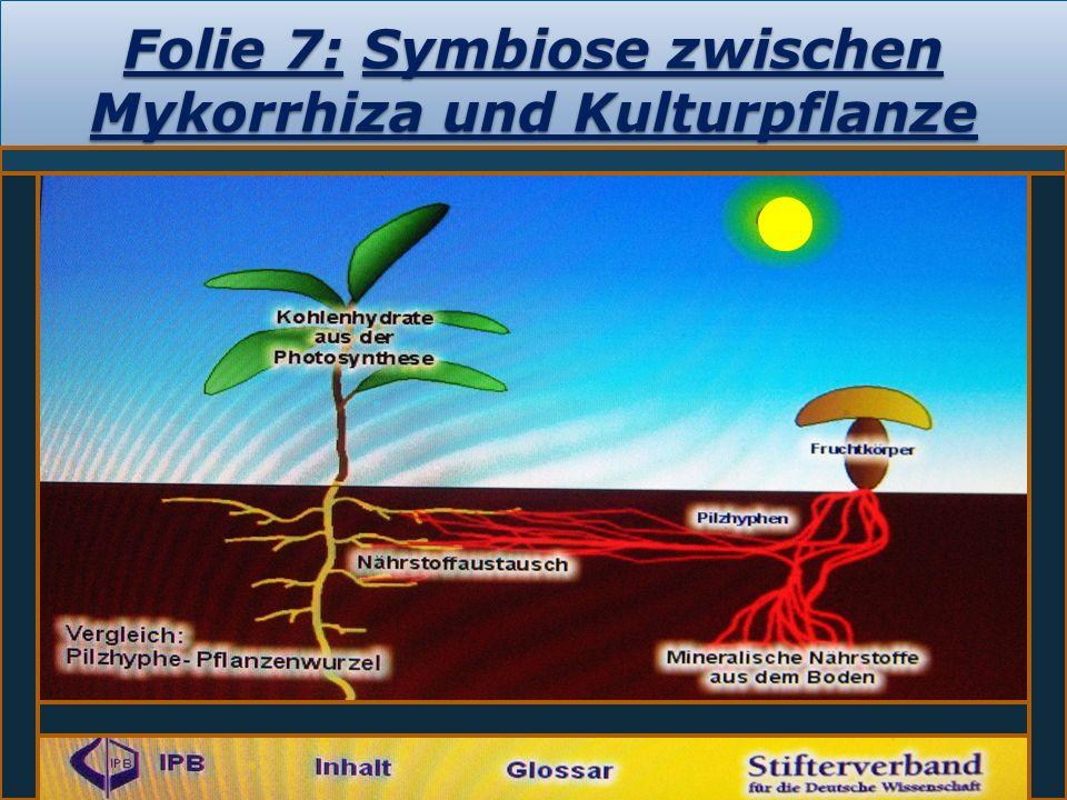 Folie 7: Symbiose zwischen Mykorrhiza und Kulturpflanze