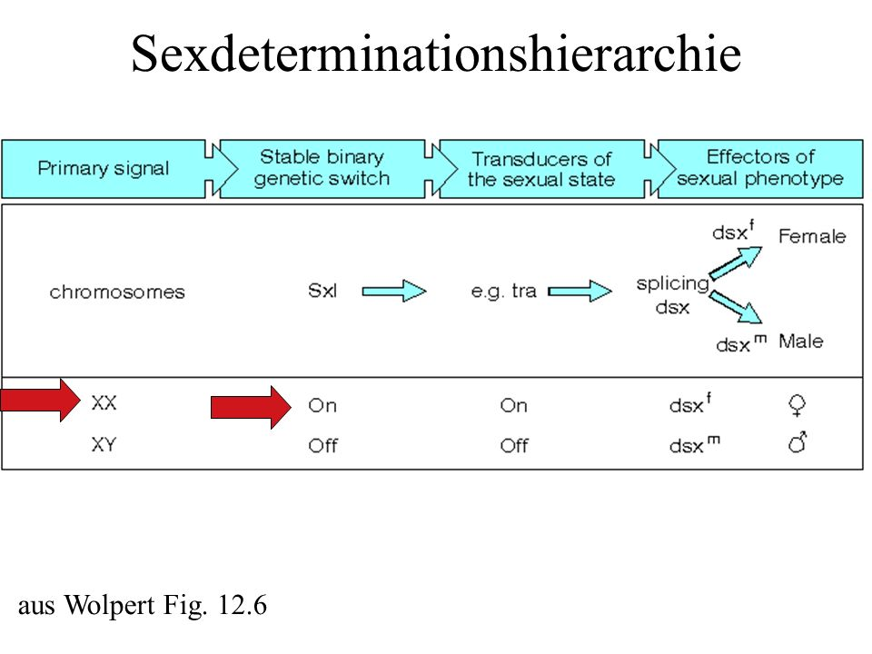 Sexdeterminationshierarchie aus Wolpert Fig. 12.6
