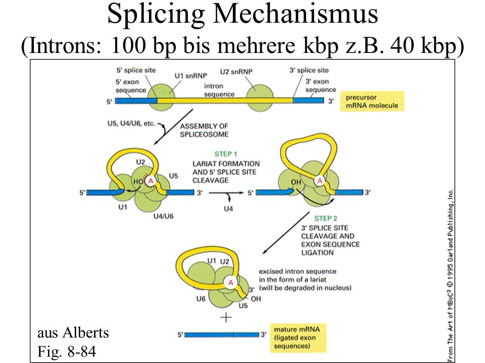 Splicing Mechanismus (Introns: 100 bp bis mehrere kbp z.B. 40 kbp) aus Alberts Fig. 8-84