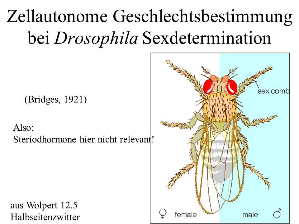 Zellautonome Geschlechtsbestimmung bei Drosophila Sexdetermination aus Wolpert 12.5 Halbseitenzwitter (Bridges, 1921) Also: Steriodhormone hier nicht relevant!