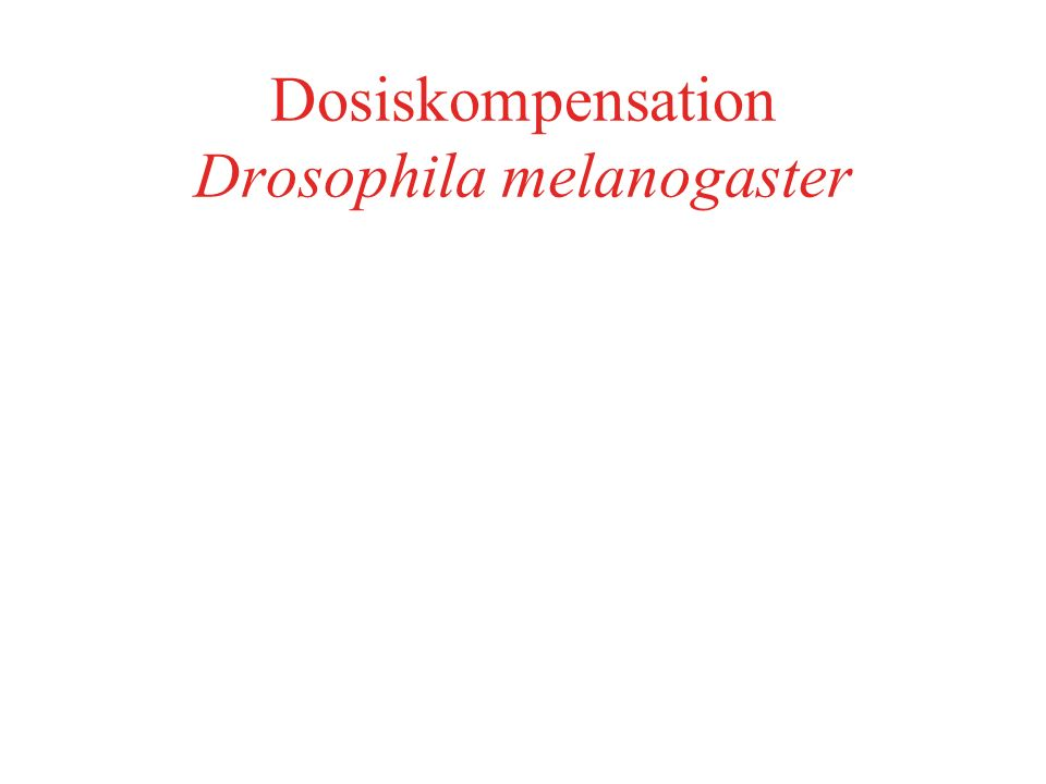 Polytänchromosomen Drosophila vgl Chromosomen in Metaphaseplatte Männliche Drosophilae: X: Hälfte der Chromatiden