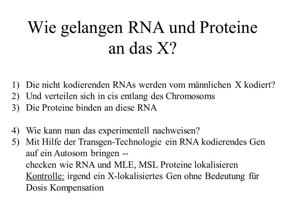 Wie gelangen RNA und Proteine an das X.