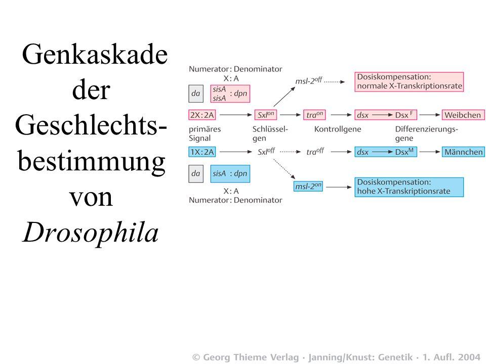 Genkaskade der Geschlechts- bestimmung von Drosophila