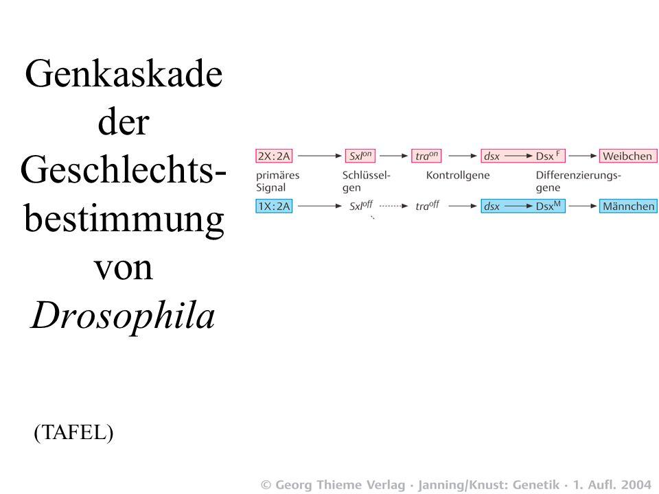 Diese Proteine und RNA lokalisieren spezifisch an das X Chromosom in männchlichen Drosophilae Meller TrendsCellBiol 00Fig.