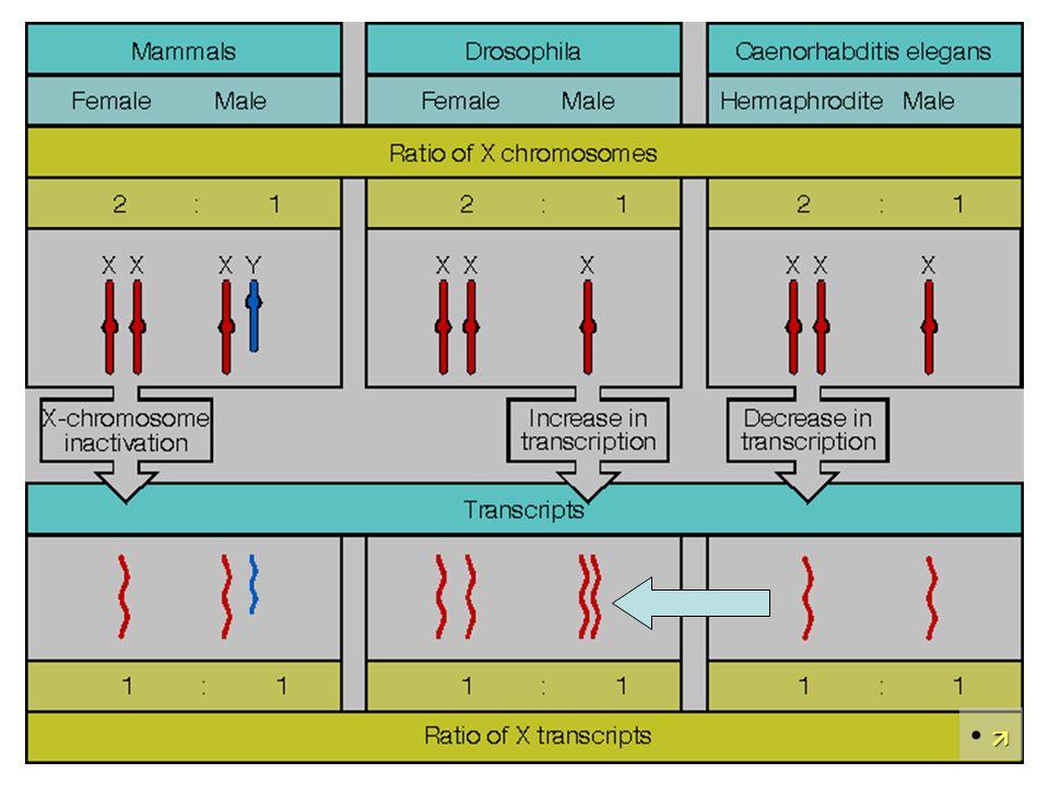 Sex lethal reguliert auch die Dosiskompensation in Drosophila Meller TrendsCellBiol 00Fig.