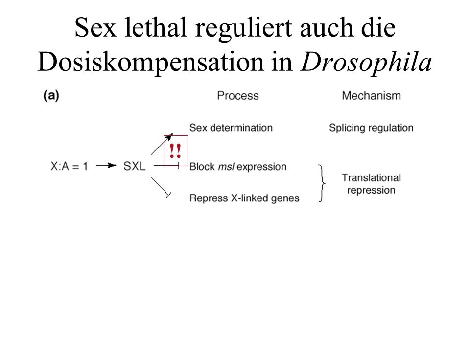 MLE & MSL msl (male specific lethal) mle (male less) mof(male-absent-on.the-first) Wofür kodieren diese Gene.