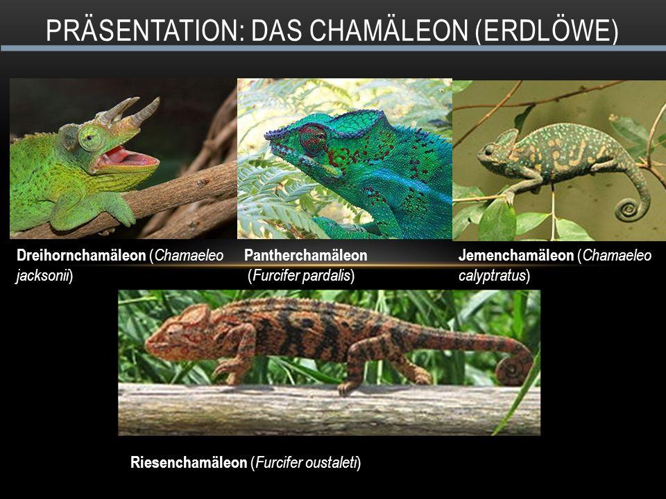 PRÄSENTATION: DAS CHAMÄLEON (ERDLÖWE) Pantherchamäleon ( Furcifer pardalis ) Jemenchamäleon ( Chamaeleo calyptratus ) Dreihornchamäleon ( Chamaeleo jacksonii ) Riesenchamäleon ( Furcifer oustaleti )