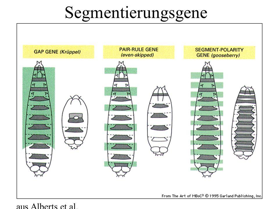 Segmentierungsgene aus Alberts et al.