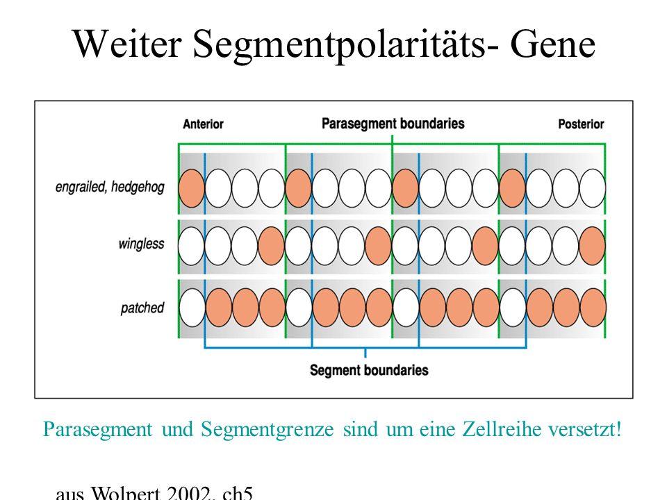 Weiter Segmentpolaritäts- Gene Parasegment und Segmentgrenze sind um eine Zellreihe versetzt! aus Wolpert 2002, ch5
