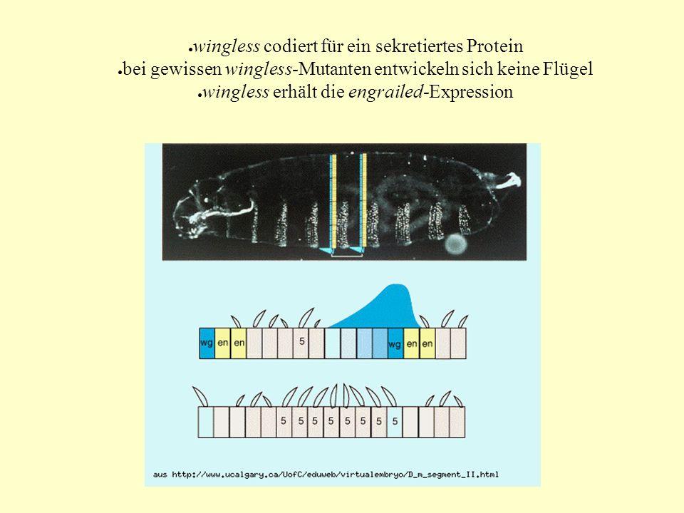 ● wingless codiert für ein sekretiertes Protein ● bei gewissen wingless-Mutanten entwickeln sich keine Flügel ● wingless erhält die engrailed-Expressi