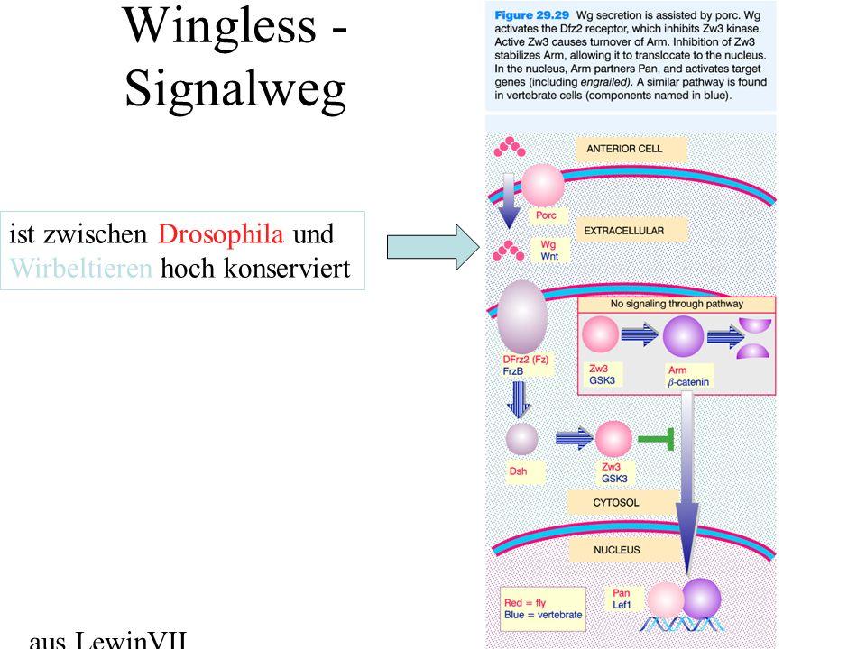 Wingless - Signalweg aus LewinVII ist zwischen Drosophila und Wirbeltieren hoch konserviert