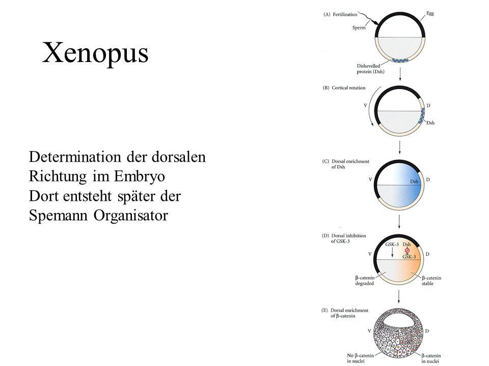 Xenopus Determination der dorsalen Richtung im Embryo Dort entsteht später der Spemann Organisator