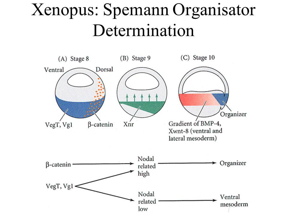 Xenopus: Spemann Organisator Determination