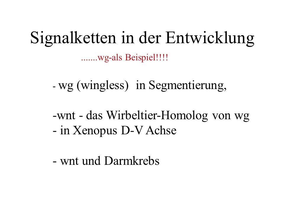 Signalketten in der Entwicklung - wg (wingless) in Segmentierung, -wnt - das Wirbeltier-Homolog von wg - in Xenopus D-V Achse - wnt und Darmkrebs.......wg-als Beispiel!!!!