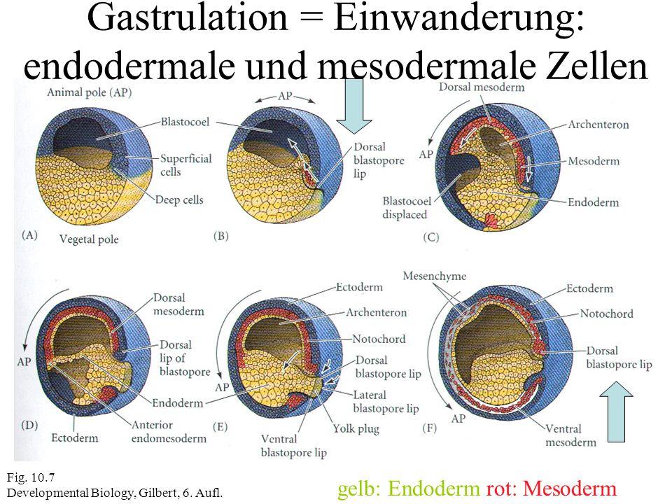 Fig. 10.7 Developmental Biology, Gilbert, 6. Aufl. Gastrulation = Einwanderung: endodermale und mesodermale Zellen gelb: Endoderm rot: Mesoderm