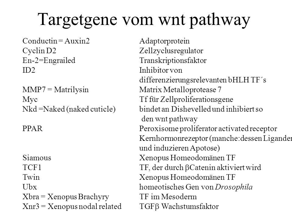 Targetgene vom wnt pathway Conductin = Auxin2Adaptorprotein Cyclin D2Zellzyclusregulator En-2=EngrailedTranskriptionsfaktor ID2Inhibitor von differenzierungsrelevanten bHLH TF´s MMP7 = MatrilysinMatrix Metalloprotease 7 MycTf für Zellproliferationsgene Nkd =Naked (naked cuticle)bindet an Dishevelled und inhibiert so den wnt pathway PPARPeroxisome proliferator activated receptor Kernhormonrezeptor (manche:dessen Liganden inhibieren Zellwachstum und induzieren Apotose) SiamousXenopus Homeodomänen TF TCF1TF, der durch  Catenin aktiviert wird TwinXenopus Homeodomänen TF Ubxhomeotisches Gen von Drosophila Xbra = Xenopus BrachyryTF im Mesoderm Xnr3 = Xenopus nodal relatedTGF  Wachstumsfaktor