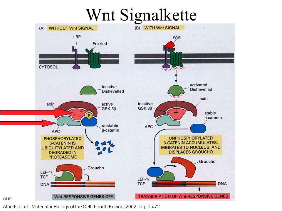 Aus: Alberts et al.: Molecular Biology of the Cell. Fourth Edition, 2002. Fig. 15-72 Wnt Signalkette