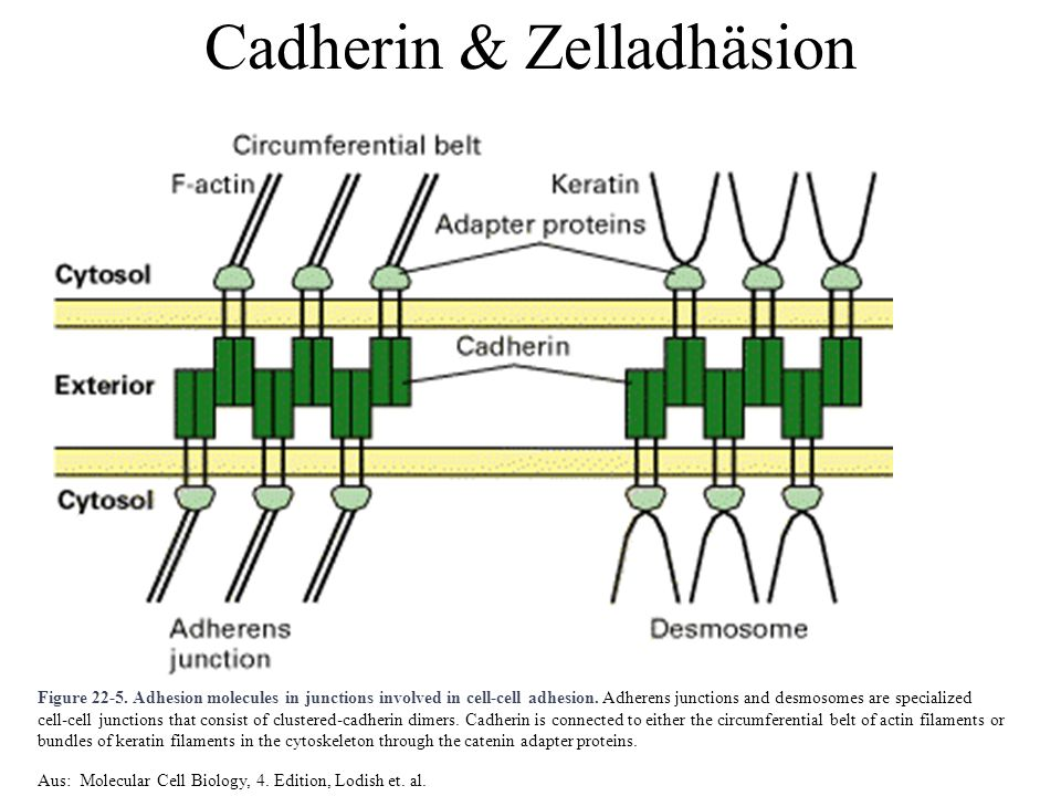 Figure 22-5. Adhesion molecules in junctions involved in cell-cell adhesion. Adherens junctions and desmosomes are specialized cell-cell junctions tha