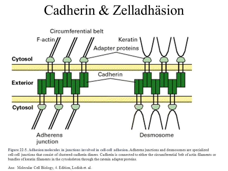 Struktur von Cadherinen Funktion von  Catenin