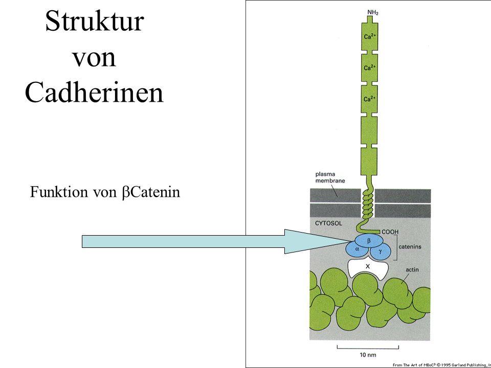  Catenin hat eine weitere Funktion im Wnt induzierten Signalweg Komponenten z.