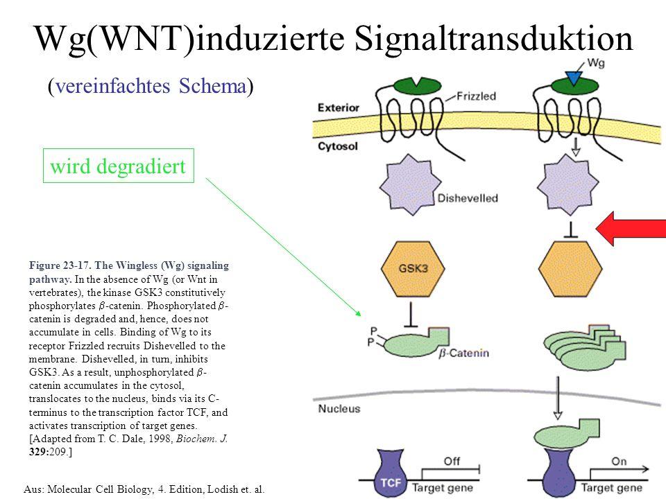 Figure 23-17. The Wingless (Wg) signaling pathway.