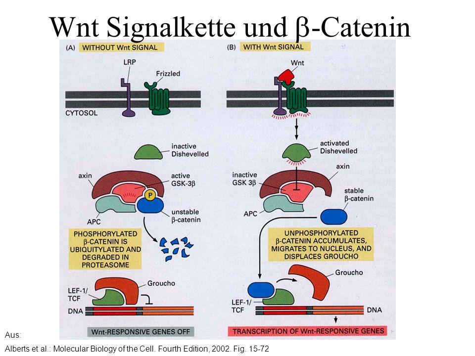 Aus: Alberts et al.: Molecular Biology of the Cell. Fourth Edition, 2002. Fig. 15-72 Wnt Signalkette und  -Catenin