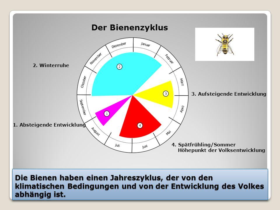 Die Bienen haben einen Jahreszyklus, der von den klimatischen Bedingungen und von der Entwicklung des Volkes abhängig ist.