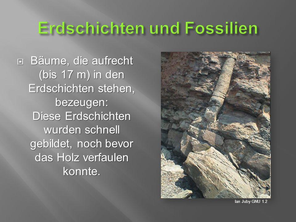  Bäume, die aufrecht (bis 17 m) in den Erdschichten stehen, bezeugen: Diese Erdschichten wurden schnell gebildet, noch bevor das Holz verfaulen konnte.