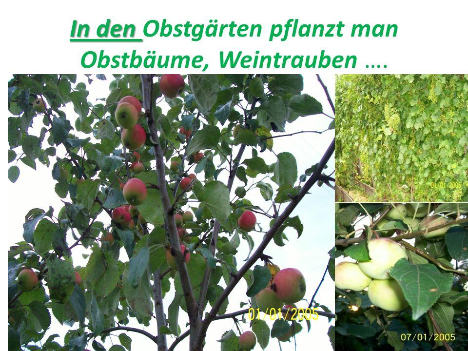 In den In den Obstgärten pflanzt man Obstbäume, Weintrauben ….