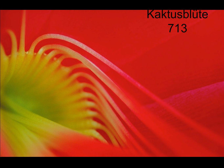 Kaktusblüte 713