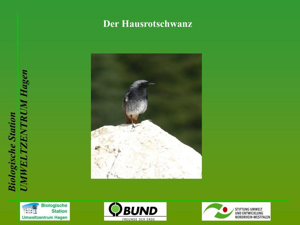 Biologische Station UMWELTZENTRUM Hagen Der Hausrotschwanz