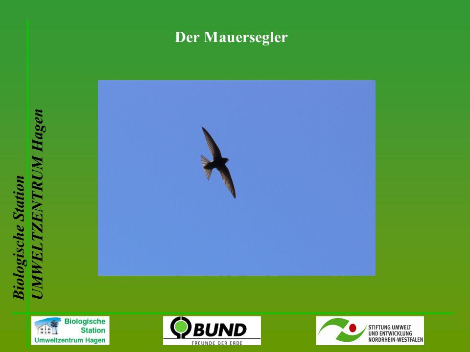 Biologische Station UMWELTZENTRUM Hagen Der Mauersegler